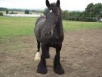 Bella, 15hh, dark bay mare