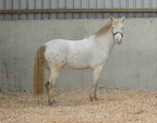 Ghost, Kingsford Ghost, 14.2hh, cremello gelding