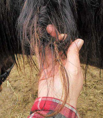 Plaits found in manes - Tracing Equines
